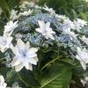 高円寺の紫陽花 六月