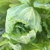 家庭菜園の白菜を収穫。