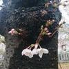 【このはなさくや姫】姫の名は 梅か桜か 咲くやこの花【高津宮 高津神社 広場の桜と梅園】