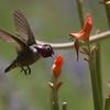 アンナハチドリ(Anna's Hummingbird)