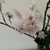 酔桜(すいざくら)?