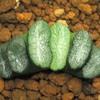 ハオルチア 玉扇5