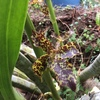 板橋区立熱帯環境植物館でタイガーオーキッドが開花