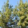 メタセコイアの大樹
