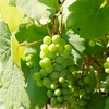 一日一撮 vol.262 番の州公園:葡萄