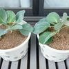 5Lのバケツを使ってキャベツを半水耕栽培中。今回は上手く育つでしょうか?
