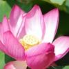 多肉番外編:蓮(はす)の花が咲いて、種ができるまで。(集合体恐怖症の人はご注意を)