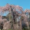 イチゴ狩りと手打ちそばと満開のイトザクラで春真っ盛りの山梨を満喫