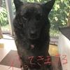 甲斐犬サンのドッグショーチャンピオンへの道〜其の壱、出ッ来ルカナ⁈:(;゙゚'ω゚'):