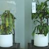 ほめ続けといじめ続けが植物の生長に与える影響