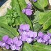 こぼれ種のスミレが咲いていた! 4月の花