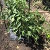 自宅の野菜栽培エリアを整理しました