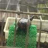 トウブドロガメ繁殖記 11
