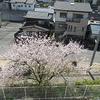 学校の様子 桜満開、先生たちは…