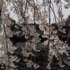 金澤の桜2020年未UP編(その1)