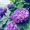 もうじき紫陽花の季節です