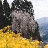 久万高原町の枝垂れ桜