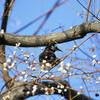 ナンキンハゼの実を啄むムクドリ