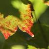 小さい紅葉