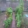 台風間近の庭仕事