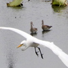 オグロシギの上空を飛ぶダイサギ