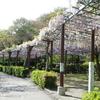 藤祭り中止の蓮華寺池公園で人出のない朝に藤を見に行く。