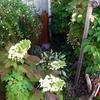 カシワバアジサイ開花