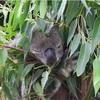 オーストラリア(ケアンズ)で【コアラ抱っこ】詳細レポ