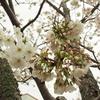 春のお伊勢参り旅行:おはらい町通りからお花見をしに五十鈴川へ