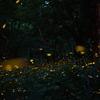 【ホタル撮影】折爪岳のヒメボタル(ラスト)