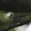 カンムリチメドリ(Taiwan Yuhina)とカヤノボリ(Collared Finchbill)
