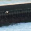 海に飛び込むカワセミ