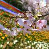 桜と老夫婦