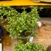 香丁木の枝を針金で広げる