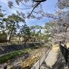 ピコ復帰。桜を見に川沿いへ。