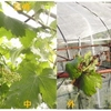 ブドウ栽培は、覆いがあった方がよいみたい