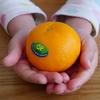 手で皮がむけるオアオレンジがおいしすぎる!見た目はまるで小粒みかん。