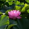 ✿不忍池 蓮の花✿