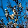 梅の花(木場公園)