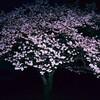 夜に咲く花 2