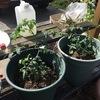 プランターで野菜栽培するのは難しいんですよ。