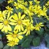 ツワブキ(橐吾)の花はどんな花?花言葉と効能