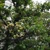 梅の実収穫🐕🐕