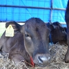 沖縄のディープすぎる祭事『黒島牛祭り』に牛をゲットしにに行った話