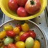 トマト大豊作
