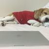 小柄な中型犬(ビーグルなど)にぴったりサイズの服