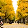東京大学本郷キャンパスの銀杏並木が見頃です