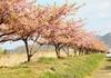 【児島湖花回廊】の河津桜と水上一面に広がるメガソーラー!