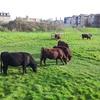 イギリス留学記 街中なのに! 通学路に突然牛が現れた!!!