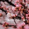 雨の中、『桜』を撮りに行く